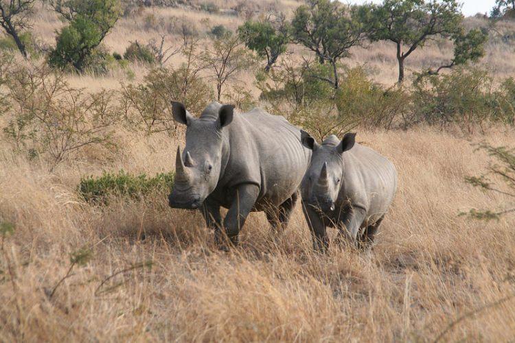 rhino_pilanesberg